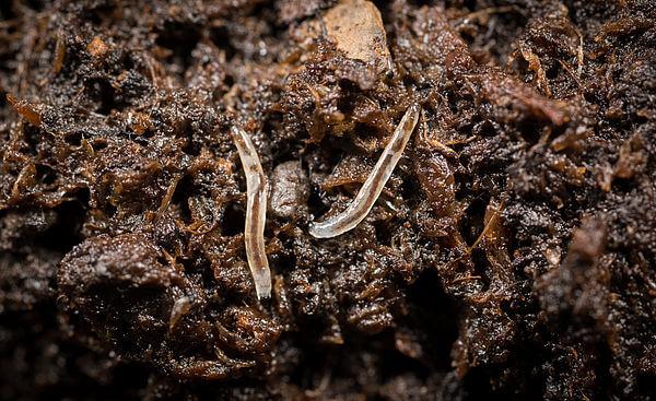 nematodi vermi parassiti della terra