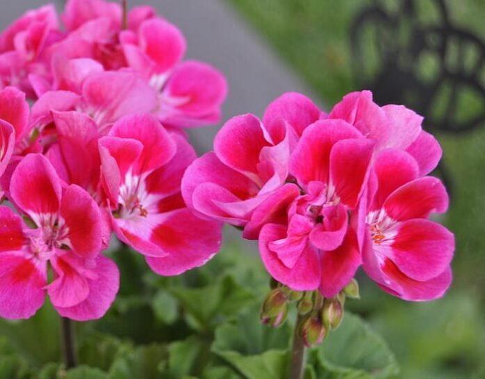 pelargonium geranio coltivazione e cura