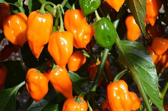 peperoncino piccantissimo habanero coltivare