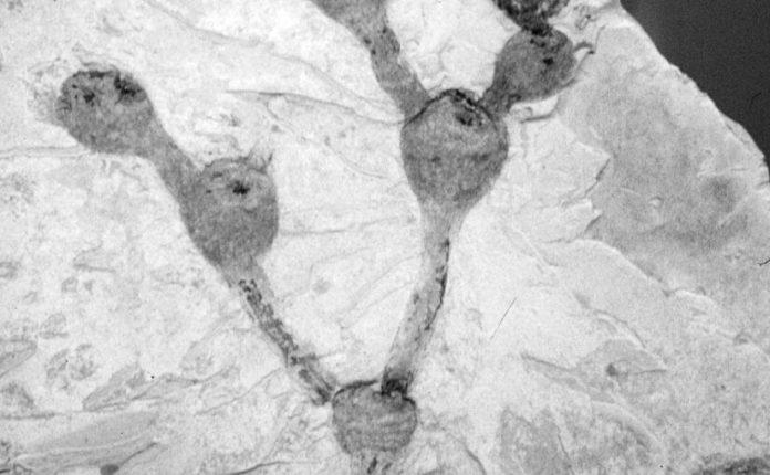 pereskia immagine cactaceae fossile