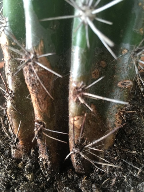 pianta grassa senza acqua secca