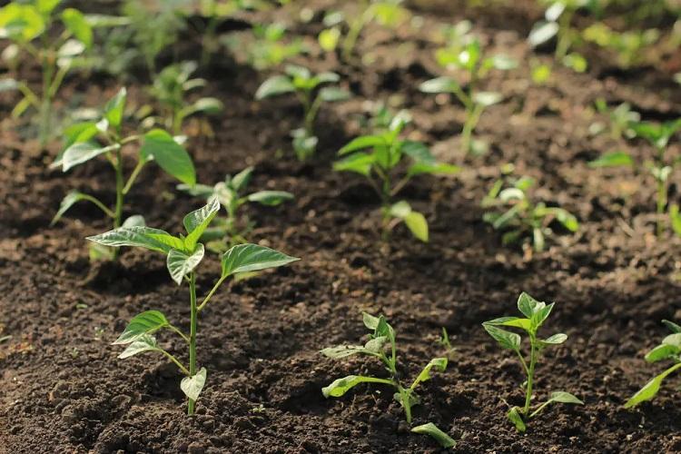piantare piantine di peperoncino