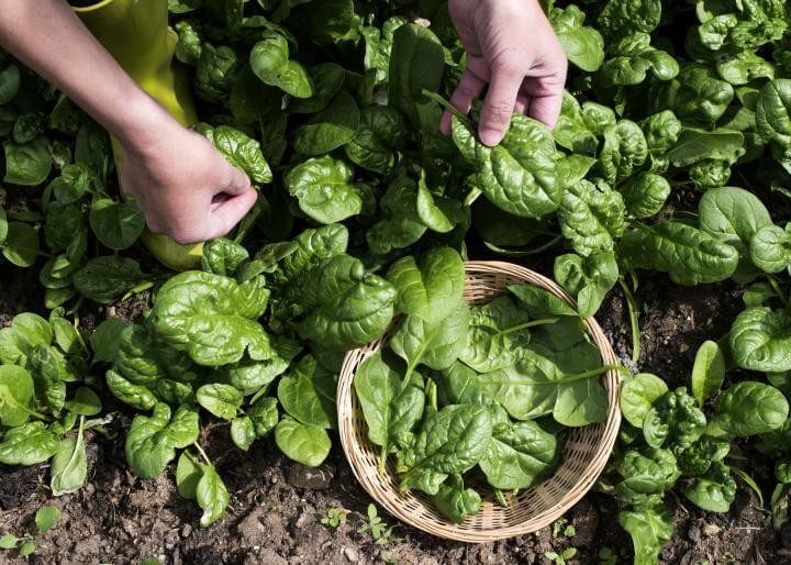 raccolta degli spinaci orto