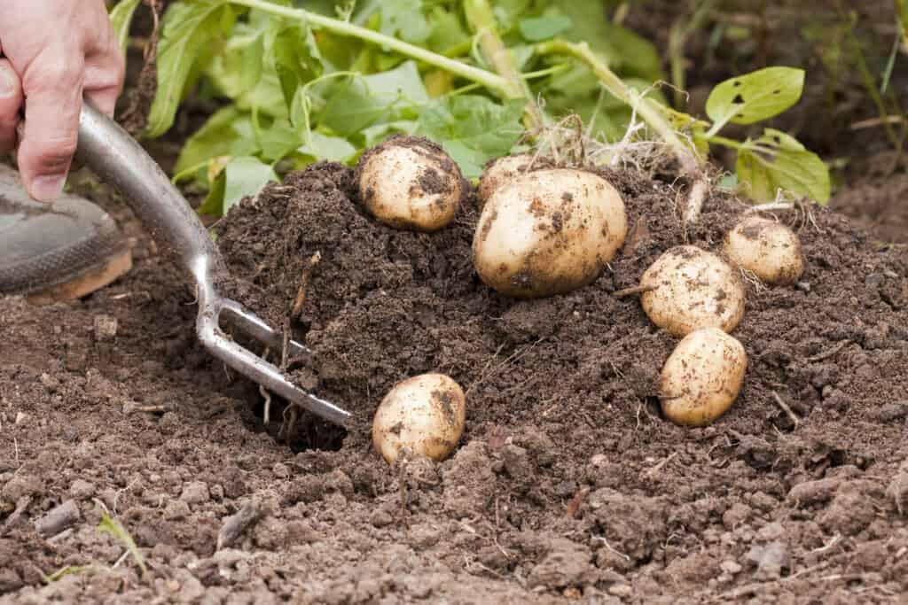 raccolta delle patate consigli