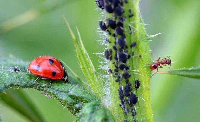 rimedio naturale contro gli afidi piante orto e giardino