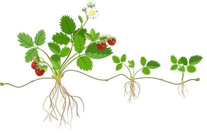 riproduzione pianta per stolone