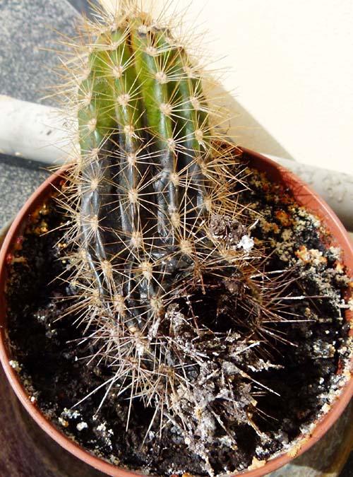troppa acqua pianta grassa marcisce