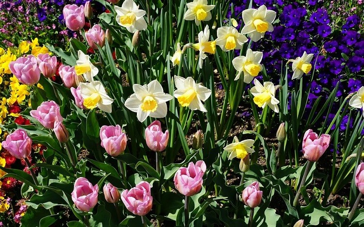 tulipani bulbose primaverili manutenzione e cura