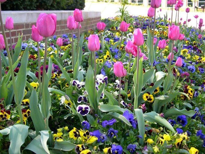 tulipani-e-viole-del-pensiero-