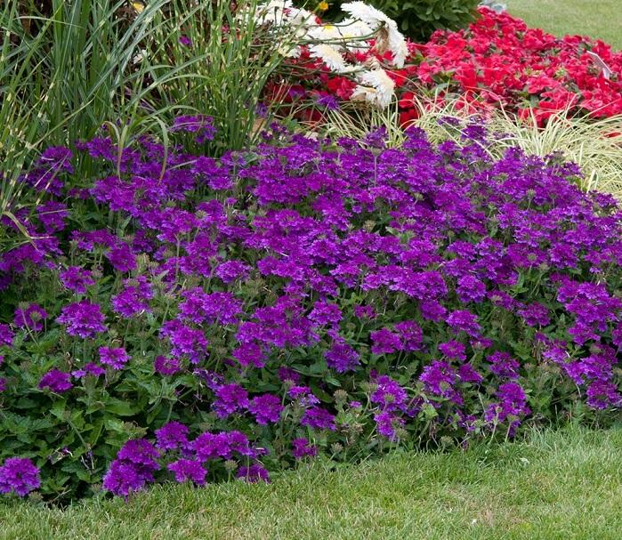 Verbena x hybrida coltivazione e cura consigli