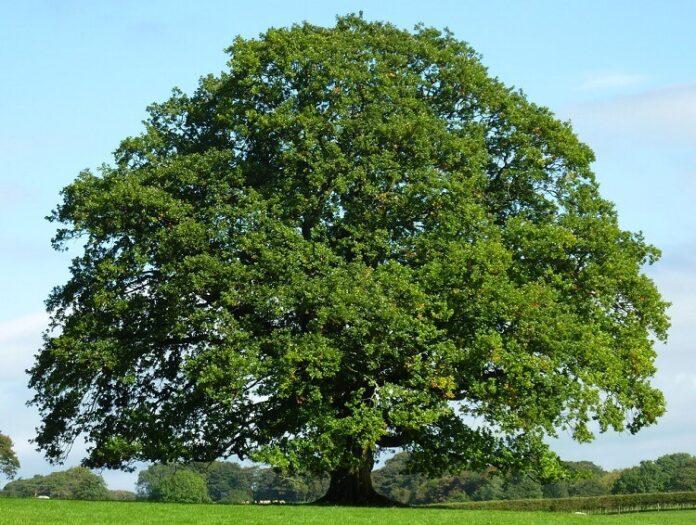 albero di quercia dove cresce e come riconoscerla