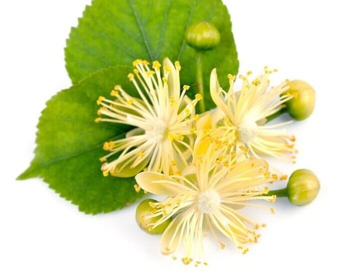 fiori di tiglio come e quando raccoglierli